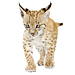 Large Baby Lynx Graphic