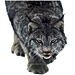 Large Bobcat Graphic